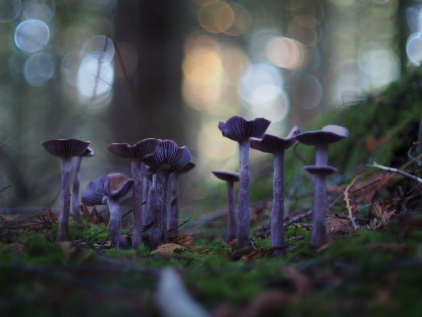 Western Amethyst Laccaria Mushrooms